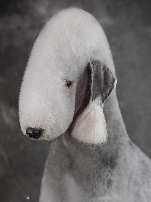 A级单犬种贝灵顿班