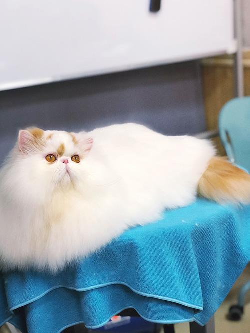 猫咪赛级洗护