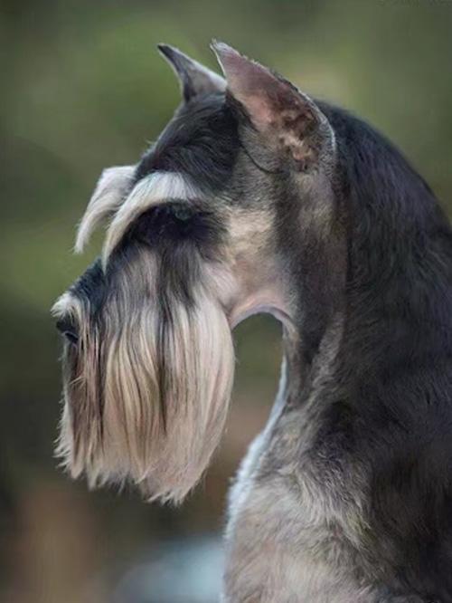 A级单犬种雪纳瑞班